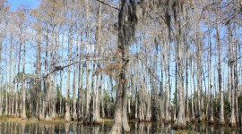Swamp Cypress Wallpaper For Android