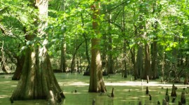 Swamp Cypress Wallpaper For Desktop