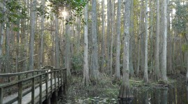 Swamp Cypress Wallpaper For Mobile