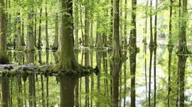 Swamp Cypress Wallpaper HQ