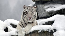 Tiger In The Snow Best Wallpaper