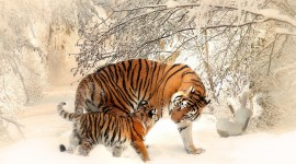 Tiger In The Snow Desktop Wallpaper