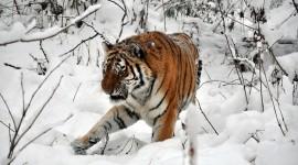 Tiger In The Snow Desktop Wallpaper HD