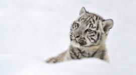 Tiger In The Snow Desktop Wallpaper HQ