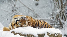 Tiger In The Snow High Quality Wallpaper