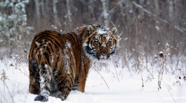 Tiger In The Snow Wallpaper 1080p