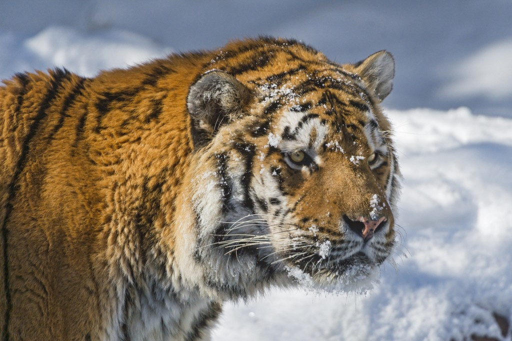 Tiger In The Snow wallpapers HD