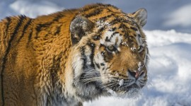 Tiger In The Snow Wallpaper Download Free