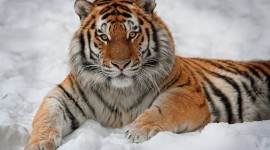 Tiger In The Snow Wallpaper For Desktop