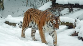 Tiger In The Snow Wallpaper Free