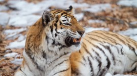 Tiger In The Snow Wallpaper Gallery