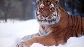 Tiger In The Snow Wallpaper HD