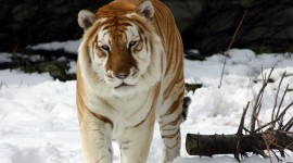 Tiger In The Snow Wallpaper High Definition