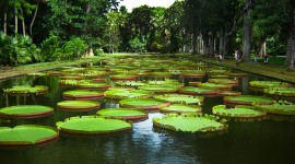 Victoria Water Lily Image Download