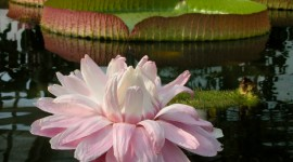 Victoria Water Lily Photo