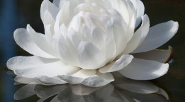 Victoria Water Lily Wallpaper For IPhone