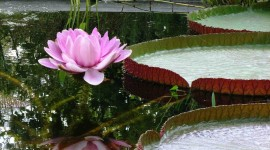 Victoria Water Lily Wallpaper For Mobile