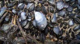 Black Sea Mussels Desktop Wallpaper HQ