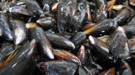 Black Sea Mussels Wallpaper