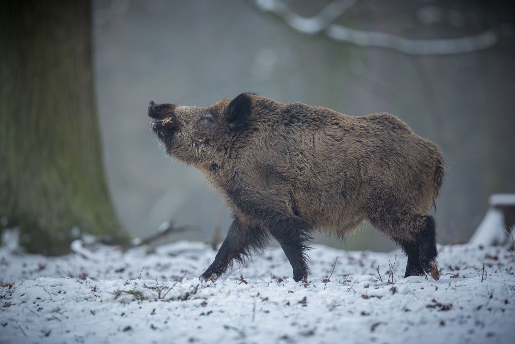Boar Hunting wallpapers HD