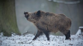 Boar Hunting Wallpaper Free