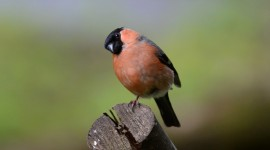 Bullfinch Best Wallpaper