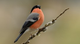 Bullfinch Desktop Wallpaper For PC