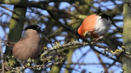 Bullfinch Desktop Wallpaper HD