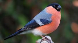Bullfinch Image