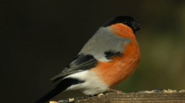 Bullfinch Image Download