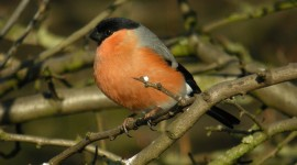 Bullfinch Photo