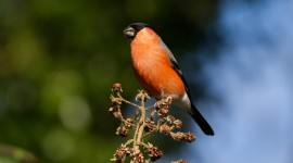 Bullfinch Photo Download