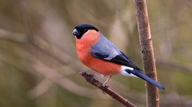 Bullfinch Photo Free