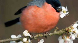 Bullfinch Picture Download