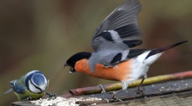 Bullfinch Wallpaper Download