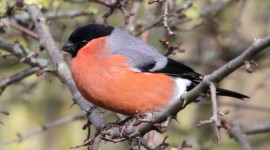 Bullfinch Wallpaper Download Free