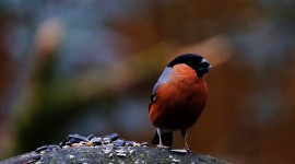 Bullfinch Wallpaper For Desktop