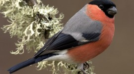 Bullfinch Wallpaper For Mobile