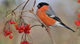 Bullfinch Wallpaper For PC