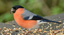 Bullfinch Wallpaper Full HD
