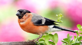 Bullfinch Wallpaper Gallery