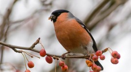 Bullfinch Wallpaper HQ
