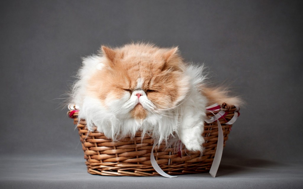 Furry Cats wallpapers HD