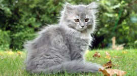 Furry Cats Wallpaper For PC