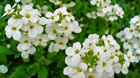 Arabis wallpapers high quality