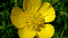 Buttercup Desktop Wallpaper HD