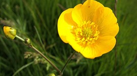 Buttercup Wallpaper