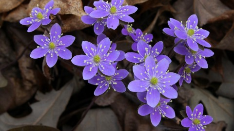Hepatica wallpapers high quality