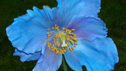 Meconopsis wallpapers high quality