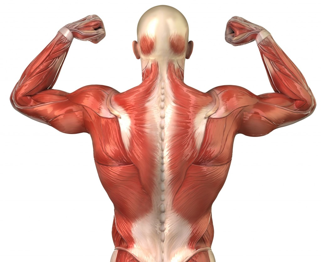 Muscles wallpapers HD